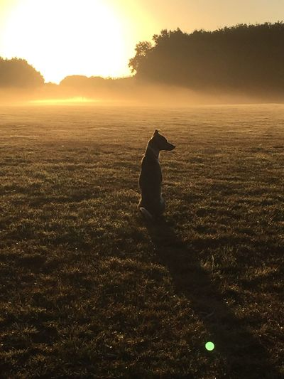 Silhouette Dog On Field At Sunset