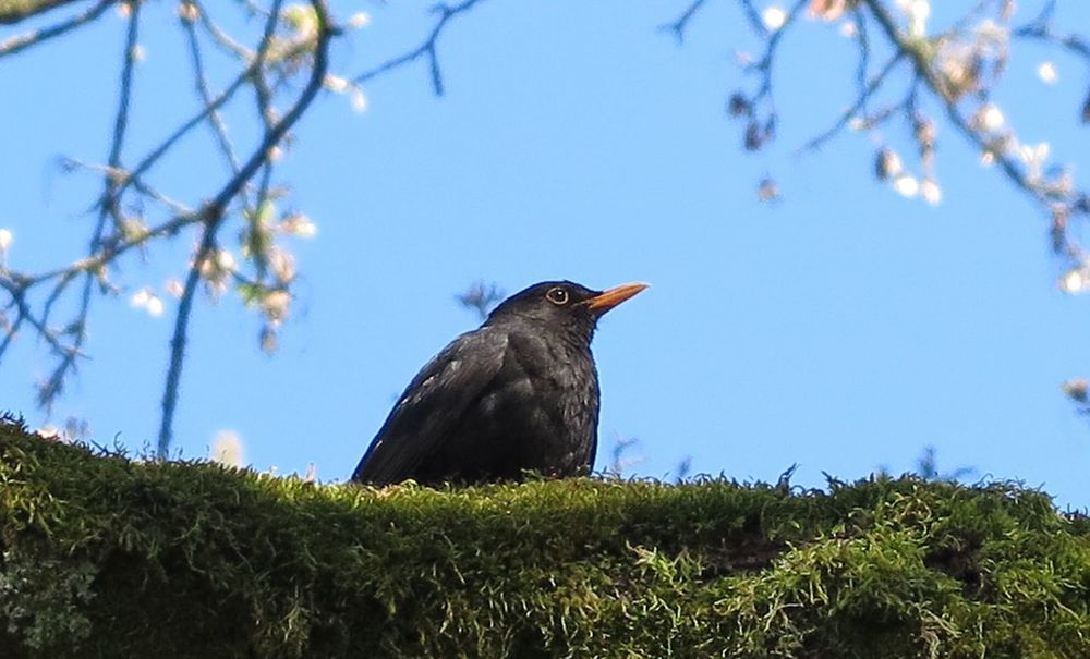 Blackbirds On A Tree Naturelover Birds_collection