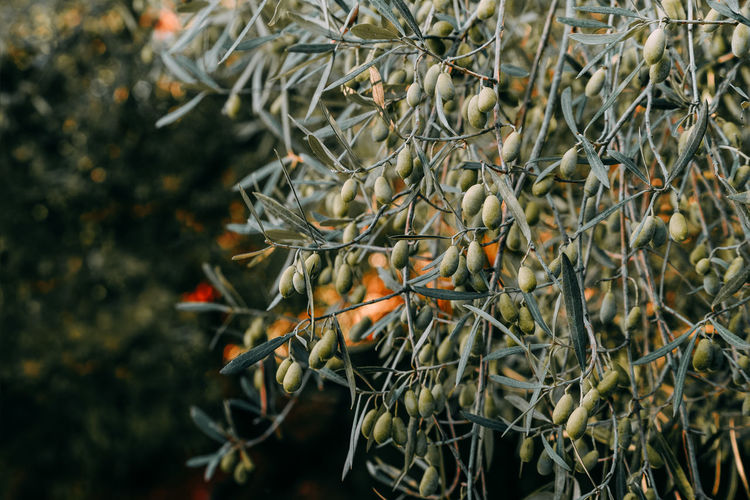 Olive Olive Tree Olives Olive Garden Olivetree Tree Branch Close-up Plant Twig Green Olive Fruit Tree Orchard