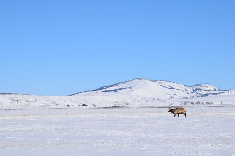 Elk on landscape against clear blue sky