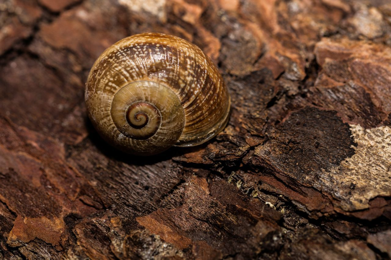 animal wildlife, invertebrate, animal, close-up, mollusk, shell, animal themes, no people, textured, animal shell, brown, spiral, animals in the wild, nature, day, gastropod, natural pattern, wood - material, one animal, pattern