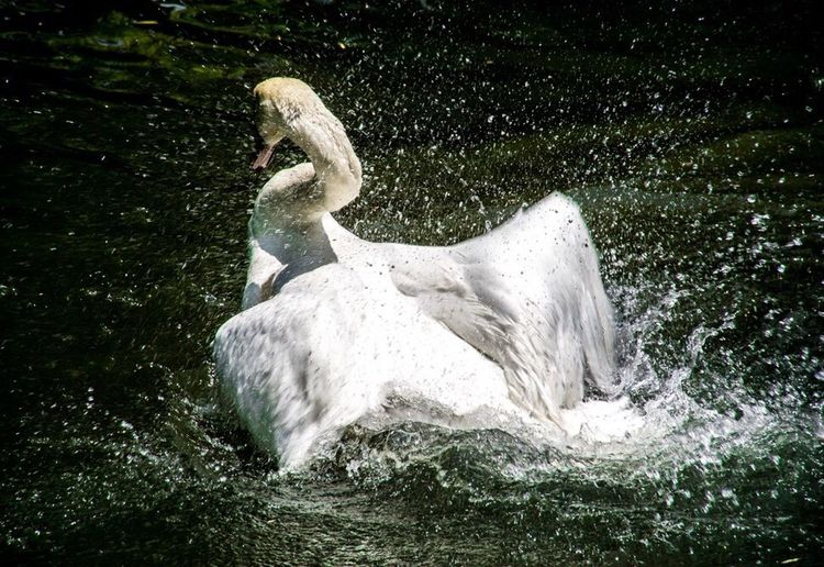 Swan Bird Birds Of EyeEm  Splashing Enjoying Life The Essence Of Summer EyeEm Nature Lover Travel River Okayama 美観地区 Relaxing Japan Photography
