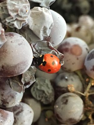 A lady bug in our grapes this morning