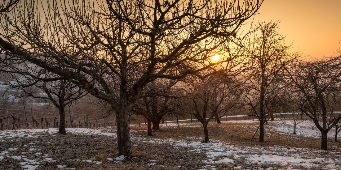 Sunrise in an orchard with bare trees in winter Morning Sky And Clouds Trees Bare Tree Beauty In Nature Branch Cold Temperature Day Landscape Nature No People Orchard Outdoors Scenics Sky Snow Sun Sunrise Tranquil Scene Tranquility Tree Weather Winter