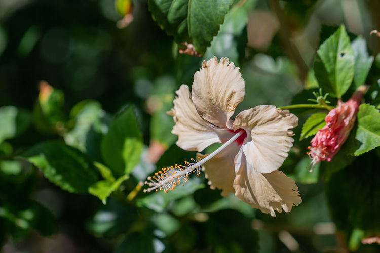 Close-up of white hibiscus on plant