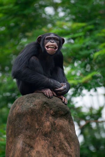 Low angle portrait of chimpanzee sitting on rock against tree
