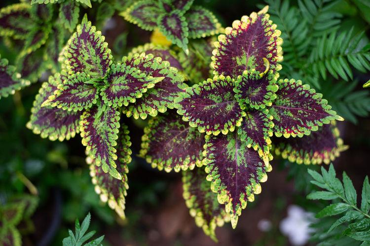 Leaf color in
