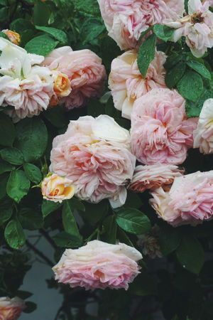Pink roses Beauty In Nature Close-up Day Flower Flower Head Fragility Freshness Growth Leaf Nature No People Outdoors Peony  Petal Pink Pink Color Pink Flower Pink Flowers Pink Rose Pink Roses Plant Rain Raindrops Rose - Flower