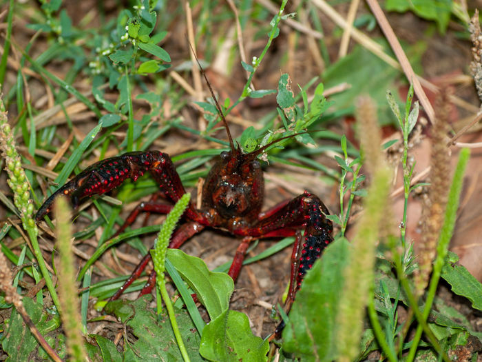 Crab EyeEm Best Shots EyeEmNewHere Procambarus Clarkii Red Swamp Crayfish American Crab Animal Animal Themes Animal Wildlife Animals In The Wild Biodiversity Close-up Crayfish Danger Day Ecology Ecology Problem Environment Environmental Conservation Environmental Damage Fauna Field First Eyeem Photo Focus On Foreground Green Color Growth Invasive Invasive Crayfish Invasive Species Land Leaf Nature No People One Animal Outdoors Plant Plant Part Poisonous Problem Red Crab Selective Focus Wildlife