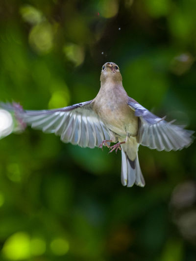 Animal Animal Themes Animal Wildlife Animals In The Wild Beauty In Nature Bird Close-up Day Flapping Flying Focus On Foreground Mid-air Motion Nature No People One Animal Outdoors Selective Focus Spread Wings Vertebrate