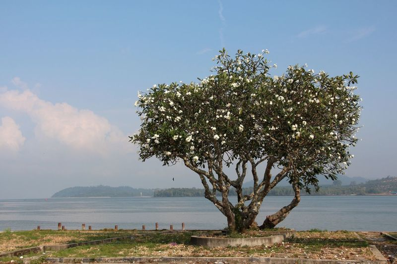 Tree Solitude Solitary Tree With Flowers Water Tranquility in Lumut Malaysia South East Asia