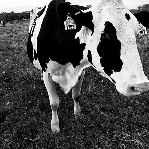 EyeEmNewHere Cow Domestic Animals Farm Agriculture Grazing Rural Scene Nature Outdoors Blackandwhite Binary Ice Cream Factory