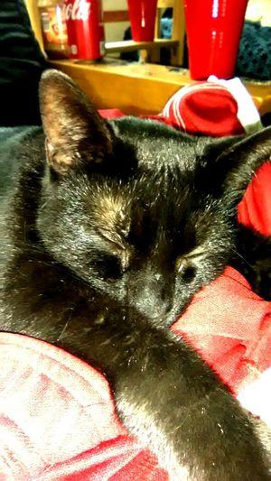 Sheba Pets Dog Red Domestic Cat Close-up