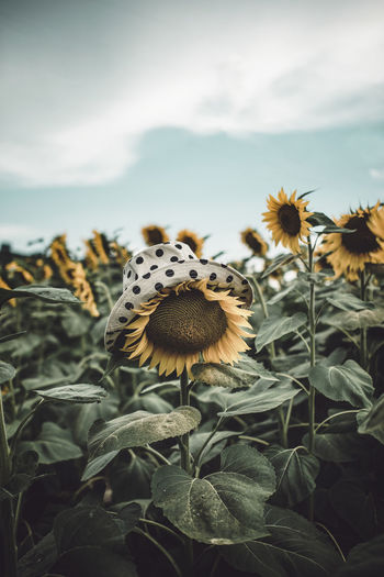Close-up of sunflower with polka dot hat in a sunflowers field