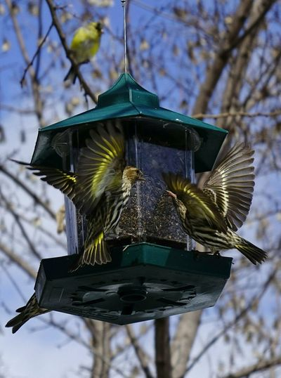 Low angle view of starlings fighting on bird feeder