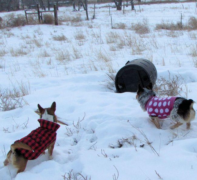Cold Temperature Corgi Corgi :) Cute Cute Animals Cute Dog  Cute Pets Cute♡ Day Dog Dogs Dogslife Dog❤ Outdoors Playin In The SNOW Playing Season  Snow Snow Covered Snow Day Snow ❄ Snowy Welsh Corgi White Winter