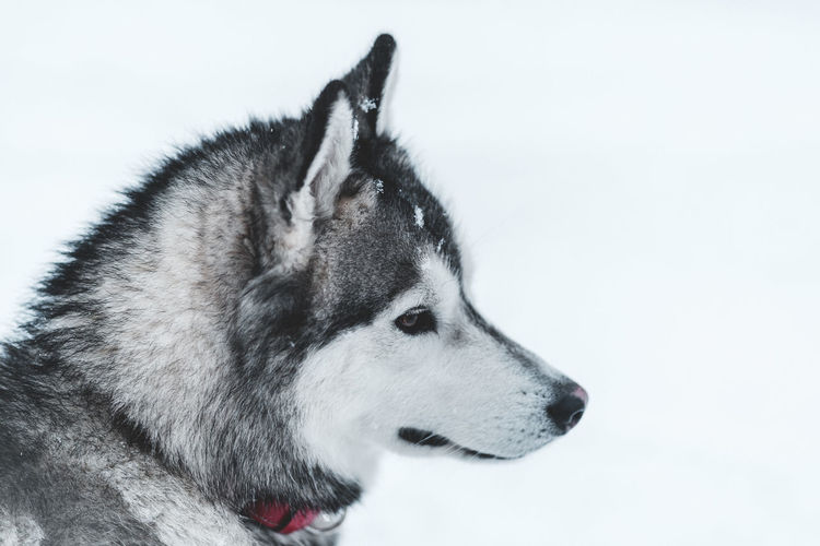 Husky One Animal Canine Dog Animal Mammal Animal Themes Sled Dog Domestic Pets Domestic Animals Snow Looking Away Looking Cold Temperature Winter Vertebrate Siberian Husky No People Close-up Animal Head  Purebred Dog Profile View Snowing