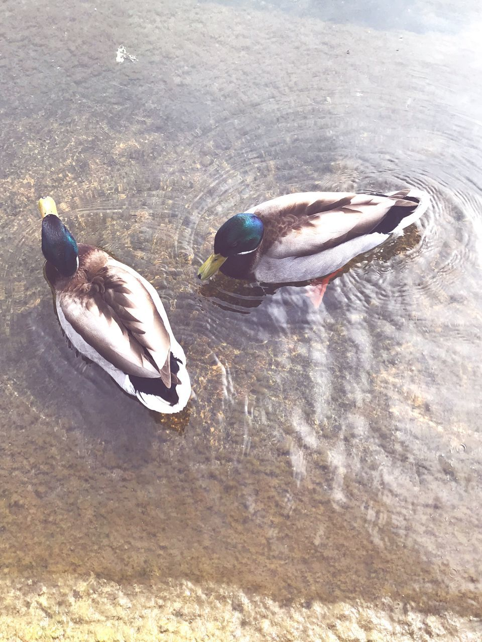 bird, animals in the wild, animal themes, duck, animal wildlife, nature, one animal, no people, mandarin duck, day, spread wings, swimming, outdoors, beauty in nature, close-up