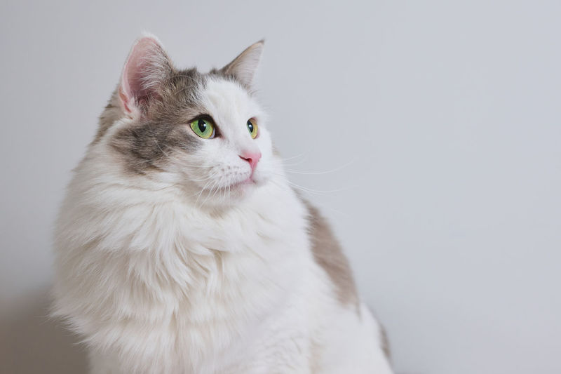 Close-up portrait of a white cat against white background