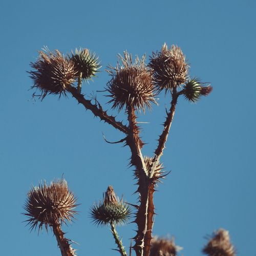 Beauty In Nature Blue Botany Clear Sky Close-up Day Dried Plant Focus On Foreground Fragility Growing Growth Low Angle View Nature No People Outdoors Plant Scenics Sky Spiked Stem Tranquil Scene Tranquility Tree Uncultivated