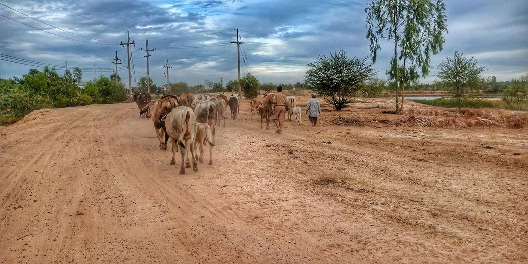 View of horses on dirt road against sky