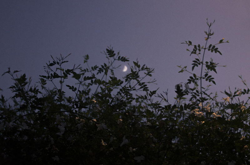 Plant Sky Growth Beauty In Nature No People Nature Tranquility Tree Night Flower Dusk Flowering Plant Outdoors Freshness Moon Scenics - Nature Low Angle View Tranquil Scene Clear Sky Moonlight