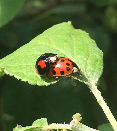 Insect Ladybug Leaf Close-up Fragility Summertime Iphonephotography Ladybugs LadyBugLove