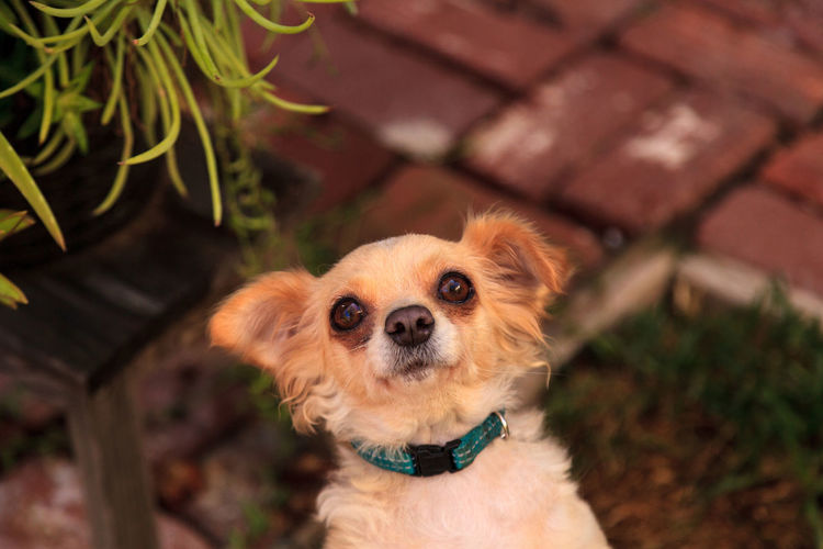 High Angle Portrait Of Chihuahua On Field