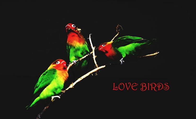 love birds #unique #green #red #photography #photoshoot  #Canon Perching Parrot Macaw Green Color EyeEmNewHere