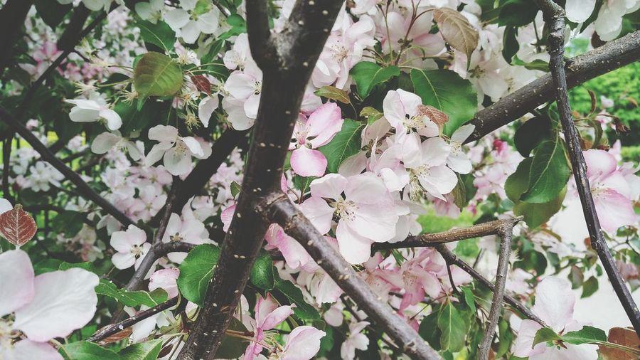 Цветы Moscow Москва город Nature цветы цветение ветка ветви белый розовый белый цветок розовый цветок Tree Flower Branch Springtime Full Frame White Color Cherry Tree Cherry Blossom Flower Tree Blossom Stamen Pistil Pink Plant Life Blooming In Bloom