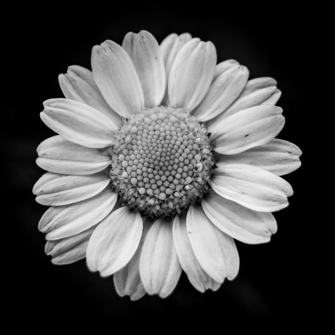 flowering plant, flower, vulnerability, petal, fragility, freshness, flower head, black background, inflorescence, studio shot, close-up, beauty in nature, plant, growth, pollen, nature, indoors, no people, daisy, springtime
