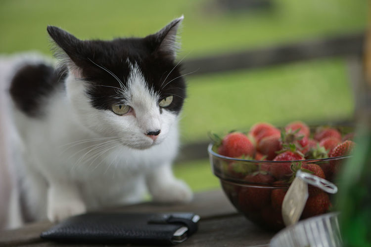 Close-Up Portrait Of Cat By Strawberries