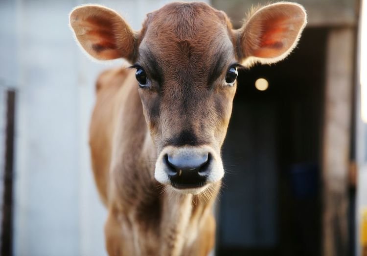 sweet little dairy calf Calf Cow EyeEm Selects Oil Pump Portrait Looking At Camera Closing Close-up Animal Eye Nose Animal Head  Eye Animal Face Animal Nose Livestock Tag Livestock Animal Ear
