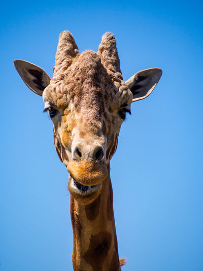 Low angle portrait of giraffe against clear blue sky
