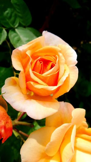 The Essence Of Summer Taking Photos Check This Out Enjoying Life That's Me Rose🌹 Roses Hello World Plant Flowers Flower Blossom Salmon Colored