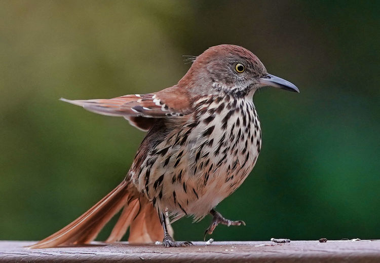 A plump brown thrasher steps along the deck