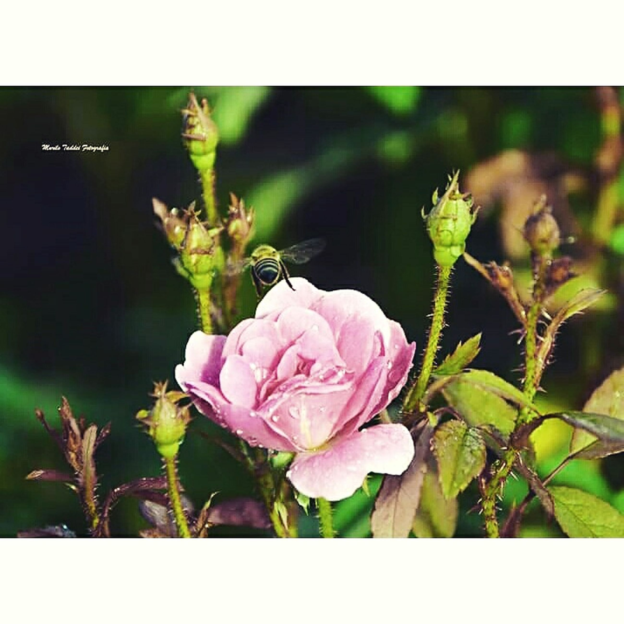 flower, freshness, transfer print, petal, fragility, growth, flower head, beauty in nature, pink color, plant, close-up, auto post production filter, leaf, nature, blooming, focus on foreground, in bloom, blossom, stem, bud