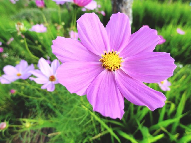 Flower Petal Nature Growth Fragility Beauty In Nature Plant Blooming Freshness Flower Head Focus On Foreground Close-up No People Cosmos Flower Day Outdoors Osteospermum