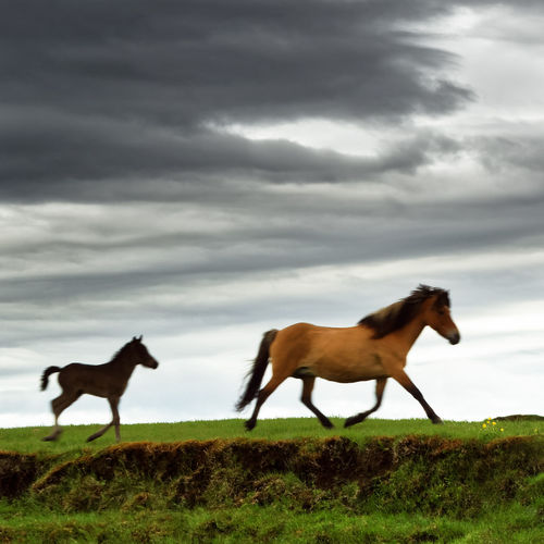 Two Icelandic horses walk across a meadow to a wooden hut, one of the animals is a foal, above it a dramatically clouded sky, a local motif - Location: Iceland, Golden Circle Iceland Horses Iceland Pony Animal Animal Themes Cloud - Sky Domestic Domestic Animals Field Filly Foal Grass Group Of Animals Horse Land Livestock Mammal Movement Nature No People Outdoors Pets Sky Two Animals Typical Of The Country Vertebrate