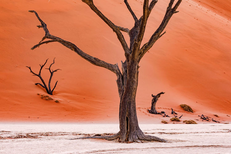 A dead tree in the namibian dead vlei stands elegantly in the salt pan of the red desert