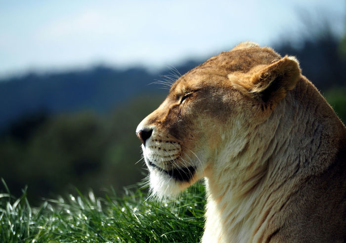 Lioness in the Sun Big Cats Lion Lions Head Tranquility Animal Themes Animal Wildlife Beauty In Nature Beauty Of Nature Big Cat Day Feline Feline Portraits Focus On Foreground Grass Lion - Feline Lion In The Sun Lion Resting Lioness Lions Lions In Nature Mammal No People One Animal Tranquil Scene