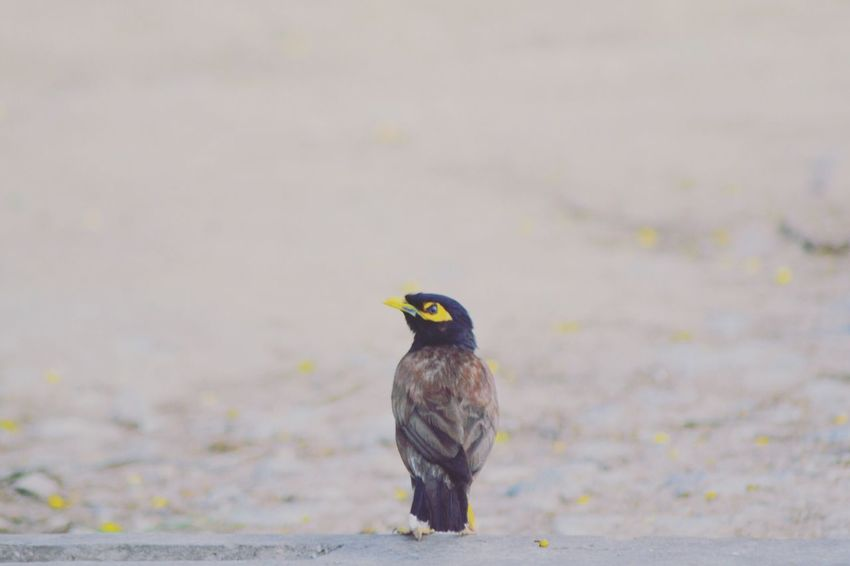 Common Mynah Bird Photography EyeEm Team EyeEm