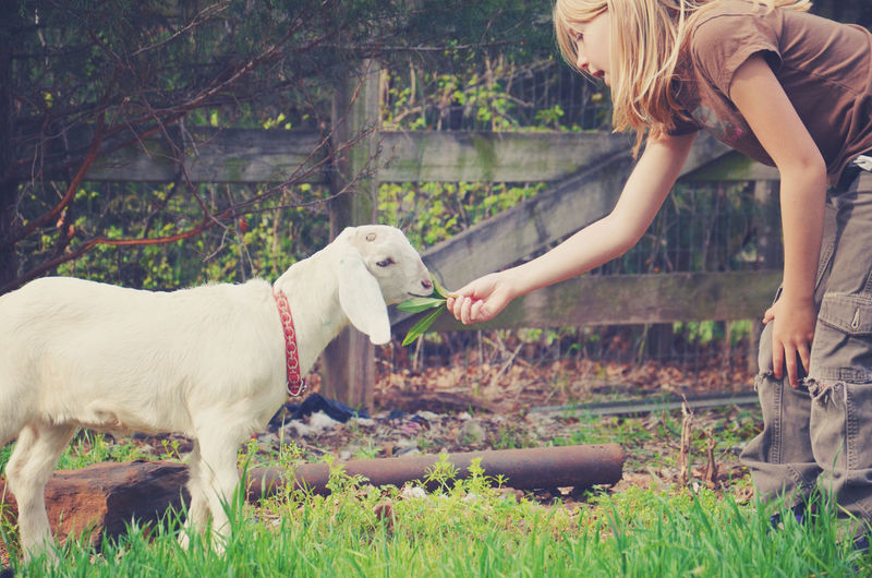 Girl Feeding Kid Goat Leaves At Farm