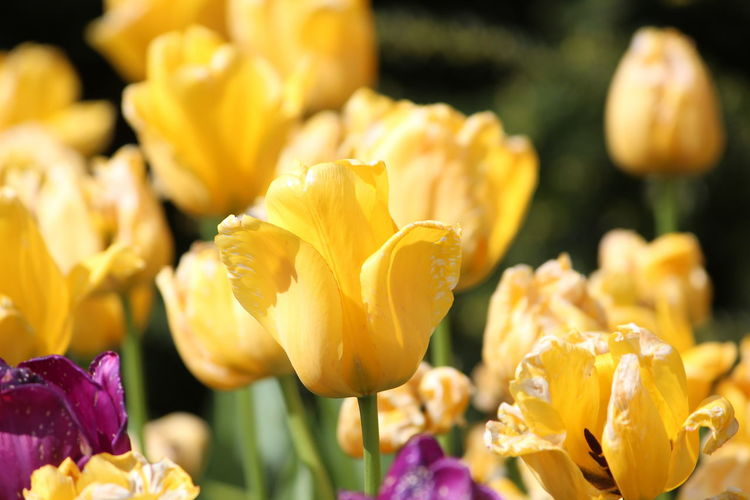 Beauty In Nature Close-up Day Flower Flower Head Flowering Plant Focus On Foreground Fragility Freshness Growth Inflorescence Nature No People Outdoors Petal Plant Selective Focus Tulip Vulnerability  Yellow