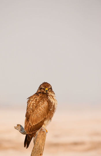 Close-Up Of Owl Perching On Dead Plant Against Clear Sky