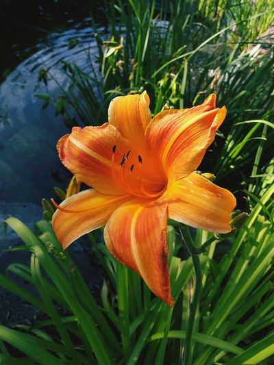 Flower Head Day Lily Flower Petal Close-up Plant Lily Plant Life Blooming