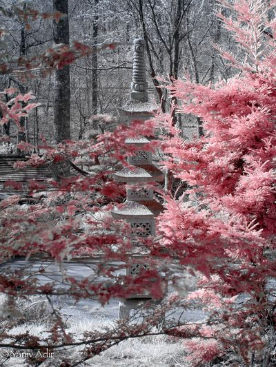 Japanese Garden Infrared. Gibbs Gardens Life Pixel Infrared Life Pixel Olympus Infrared Olympus Pen Olympus Color Infrared Infrared Japanes Garden Red Backgrounds Day No People Outdoors Nature