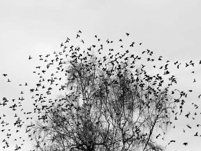 Large Group Of Animals Flock Of Birds Bird Animals In The Wild Flying Migrating Animal Wildlife Mid-air Wildlife Togetherness Silhouette Nature Low Angle View No People Outdoors Sky Beauty In Nature Clear Sky Spread Wings