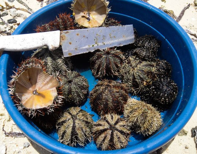 High angle view of sea urchins with knife in blue bucket on field
