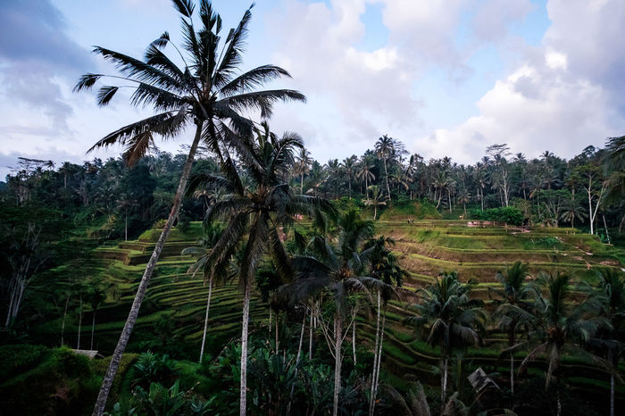 Agriculture Beauty In Nature Field Landscape Palm Tree Rice Paddy Scenics Tegalalang Terraced Field The Great Outdoors - 2017 EyeEm Awards Tranquil Scene Tranquility